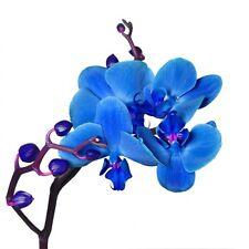 Sticker Fleur Orchidée bleu bleu