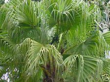 6 graines de PALMIER EVENTAILCHINOIS(Livistona Chinensis)G742 SEEDS SAMEN SEMI