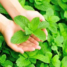 Mints, Spearmints, Chocolate Mints, Peppermints, etc - Two (2) Plants each