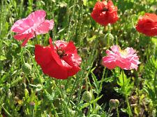 poppy, Poppy - Shirley Mix, corn poppy flower - 16000 seeds! GroCo