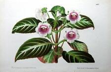 Tydaea lindenii Pannemaker Linden Antiguo botánico de impresión de 1873