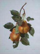 Pyrus Communis - Carlos Von Riefel -30cms x 40cms botanical pears still life