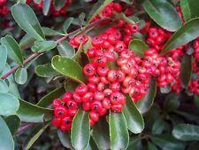100 Pyracantha coccinea Scarlet Firethorn Tree Seeds Rare Garden Plants