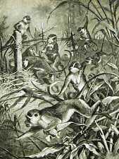 Specht GREEN MONKEYS 1885 Antique ANIMAL Print Matted