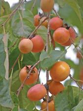 common persimmon (Diospyros virginiana)—25/100 seeds ($2.00-$3.50)