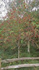 Native Rowan Sorbus bare root hedge plants saplings hedging plant, 6 sizes!