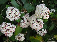Schneeball Viburnum burkwoodii Ann Russel 40-60cm Frühlingsblüher