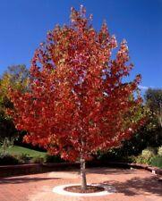 Liquidamber sweet gum bare root plants saplings garden shrubs 30-50cm tall now