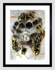 Insecto Avispa Nido Colmena Marco Negro Montaje de Imagen de Impresión Arte Enmarcado B12X8958