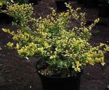 Ilex crenata Golden Gem - Japanischer Goldilex - Gelber Berg-Ilex - Gelbe Stechp