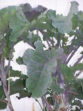 Purple Leaf Tree Collard Cutting                  Sale !    2 for $5.00