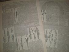 Articolo E INCISIONI SU British erbe 1850 Old Prints