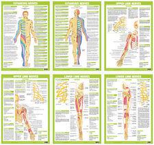Sistema NERVOSO Poster ANATOMIA UMANA il muscolo Physio anatomica Medical Tabellone