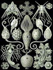 87241 NATURE ERNST HAECKEL SEA CREATURES BIOLOGY Decor WALL PRINT POSTER CA