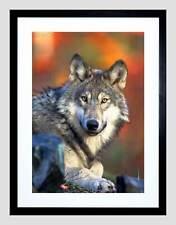 Animale Lupo Lupine Cane Wild Cool Howl NERO INCORNICIATO ART PRINT PICTURE b12x4745