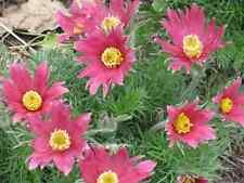 10 Red Anemone Pulsatilla Vulgaris Pasque Flower Seeds +Gift & CombS/H