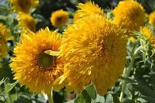 Sunflower Seed: Teddy Bear Sunflower Seeds Fresh Seed Free Shipping
