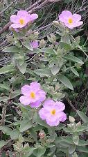 30 Semillas de Estepa Blanca (Cistus Albidus)  seeds