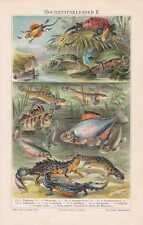 FISCHE Bitterling Kammmolch  Laichzeit LITHOGRAPHIE von 1897 Flugdrache