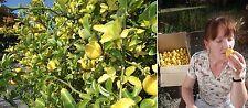 Winterharter Orangenbaum bis - 25 Grad / auch hierzulande reiche Orangen-Ernte