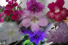 Streptocarpus Plug Plants DS Varieties F to L