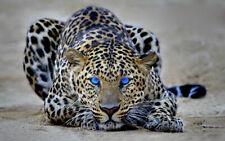 157057 Cheetah Blue Eye Wall Print Poster CA