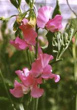 Sweet Pea - Pink -  Flowering Perennial Climbing Vine - Attracts Hummingbirds !!