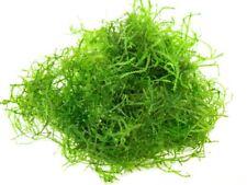 DELUXE Java Moss (Taxiphyllum barbieri, formerly Vesicularia dubyana), Loose Por