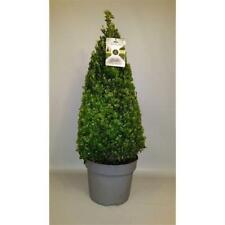 Buchsbaum Pyramide - Kegel 90 cm Buxus sempervirens