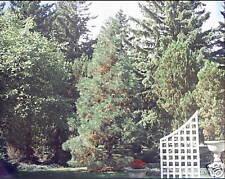 Sequoiadendron giganteum BLUE GIANT SEQUOIA SEEDS!