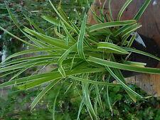 1 x 2 LITRE POT CAREX ICE DANCE PLANT  ORNAMENTAL GRASSES WOODLAND GARDEN PATIO