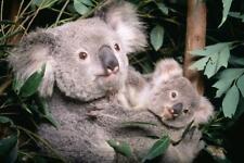 Koala Joey Glossy Poster Picture Photo Banner bear cute marsupial baby mom 5451
