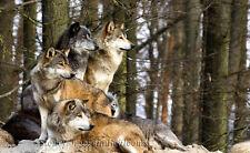 Yellowstone Wolf Pack ~ Wolves, Animals, Dogs ~ Cross Stitch Pattern
