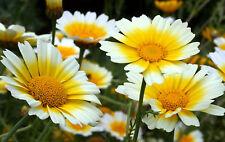 Daisy Seeds, Garland Daisy, Crown Daisies, Heirloom Wildflower, Perennial, 75ct