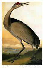 Audubon Sandhill-Hooping Crane 22x30 Hand Numbered Ltd. Edition Art Print