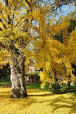 GINKGO BILOBA rare yellow flowering tree china bonsai exotic plant seed 5 seeds