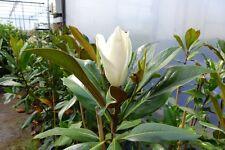ca. 100  cm Magnolia Grandiflora galissoniere duftende Magnolie winterhart