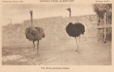 Ostrich Farm  Albertine  Two Birds Greeting A Visitor