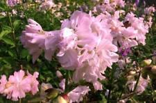 Rosa Duftblume: Winterharte schnellwüchsige Seifenblume