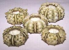 Small Natural Stone Sea Urchins  (2 - 3cm) - Craft Work, Displays etc.