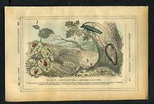 COLEOPTERES CHRYSOMELE et CAPRICORNE Gravure de 1887
