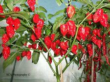 Chilli Pepper Seeds - Naga Morich