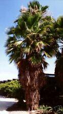 Washingtonia robusta MEXICAN FAN PALM Exotic SEEDS!