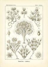 "Brown Microscopic Algae Haeckel Marine Life Illustration Print 4 x 6"" - 16 x 20"""