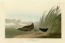 John Audubon Print - Least Water Hen