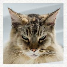 Maine Coon Cat-Tela De Tapicería Artesanía Panel de acolchar