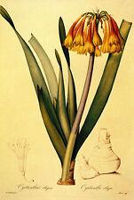 Cyrtanthus 22x30 Botanical Garden Flower Art Print Hand Numbered Ltd. Edition