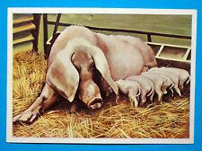 Figurina Panini-ANIMALI DI TUTTO IL MONDO 1965-n.146-SCROFA-rec