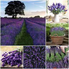 100Pcs Beautiful Lavender English Seeds Organic, Untreated Herb Seeds Plant nice