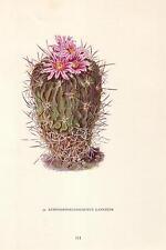 1960's Vintage Echinofossulocactus Cactus Cacti Flower Art Print